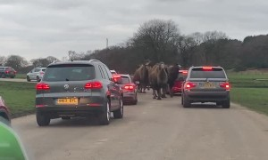 Rogue Camels Run Through Cars