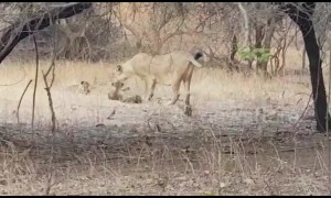 Wild Indian lioness adopts leopard cub in heartwarming show of kindness