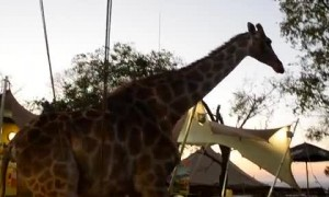 Giraffe casually walks through South African restaurant