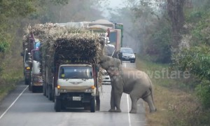 Cheeky elephant stops passing trucks to steal bundles of sugar cane
