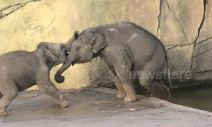 Elephant calf tries to push his big brother into the water