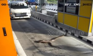Python sparks panic after appearing at toll road checkpoint