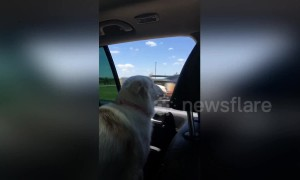 This dog uses super fast reflexes to try and catch cars