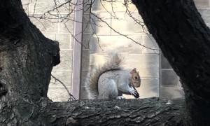 Squirrel Feasts on Oreo