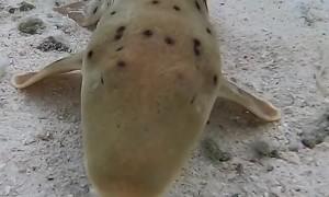 Walking Shark Wants a Snack