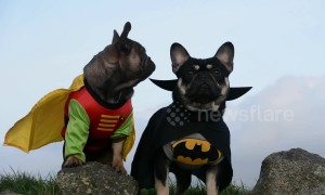 """Holy Canines!"" Cute French bulldogs dressed as Batman and Robin"