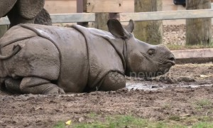 This baby rhino loves a good roll in the mud