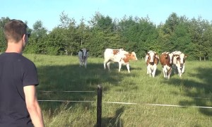 Cattle rush over after man calls them with loud burps