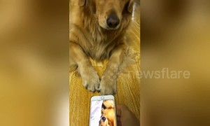Golden retriever switches off unflattering video of itself snoring