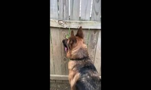 German Shepherd uses hole in fence to spy on neighboring dogs
