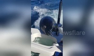 Cute sea lion hitches a lift on boat