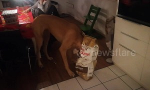 Greedy Great Dane gets caught with his head stuck in a food bag