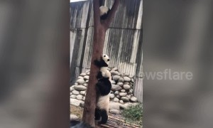 Concerned panda mum drags her baby down from tree