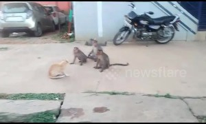 Cool cat sits unfazed as band of monkeys tries to engage it in friendly fight