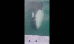Boaters have incredibly close encounter with Killer Whales