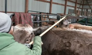 Steer Needs Rake for Proper Scratch Session