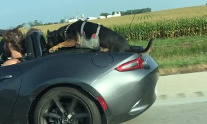 Dog Hanging on to Car