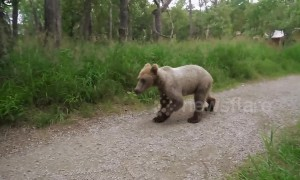Juvenile brown bear gets way too close for comfort
