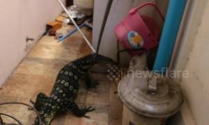 Rampaging 4ft long monitor lizard caught after running through home
