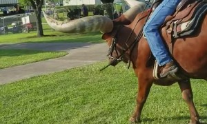Riding a Huge Horned Steer