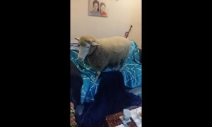 Naughty sheep usurps couch