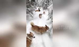 Cute corgi puppies have a ton of fun tumbling through snow in Russia