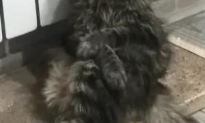 Cat Falls Asleep in Precious Pose