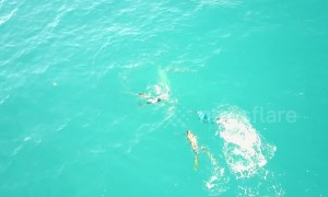 Drone films bull shark attack on spearfishing team off Florida