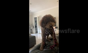 He's a Psychic! Dog knows exactly what owner is asking