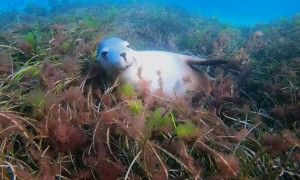 Endangered Sea Lion Says Hello
