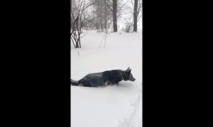 German Shepherd wades through snow as winter storm strikes East Coast