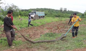 Four-metre long python caught in farmer's field