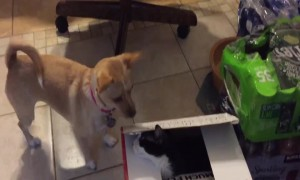 Dog and Cat play Intense Game of Peek-a-Boo