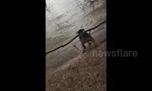 Puppy fetches stick from river, ends up with tree!
