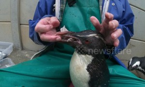 Rocky the penguin incurs envy of friend after getting special squid snacks