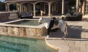Great Dane expresses his displeasure after not being allowed to swim