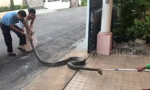 Large python caught in woman's front yard
