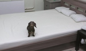 Dachshund puppy loses his when allowed to play on the bed