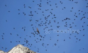 Stunning footage shows flock of choughs menaced by lone golden eagle
