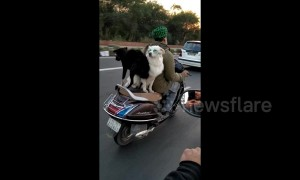 Two dogs balance on the backseat of a scooter and ride into the sunset