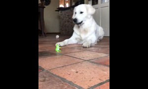 Golden retriever vs toy frog