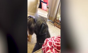 Owner and Dog Love Howling Together