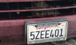 Owl Survives Impact with SUV
