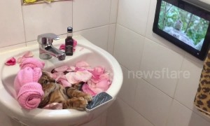 Relaxed to the max! Bengal cat enjoys spa day in a bathroom sink