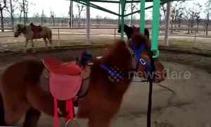Carousel with real horses in Chinese zoo angers visitors