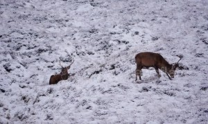 Herd of red deer frolic in Highlands winter snow