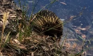 Thirsty Echidna Takes a Dip in a Dam