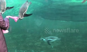Penguins go crazy for child's stuffed flamingo toy at Chester zoo