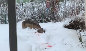 Sick Wolf  Hunts a Deer in the Yard