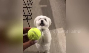 Desperate dog has hilarious way of begging for toys